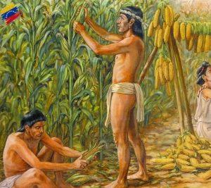 Caribes cultivando